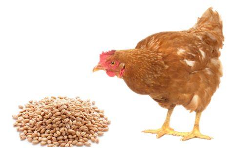 Ventajas de la cebada en aves