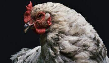 coriza aviar o moquillo