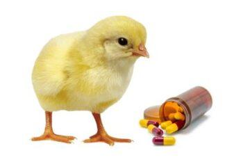 antibiótico para pullorosis aviar