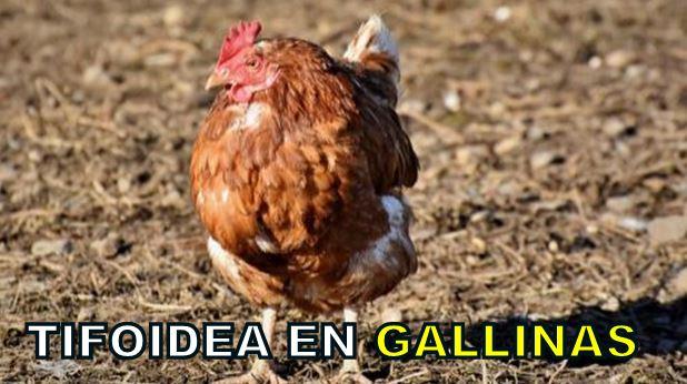 Tifoidea en gallinas