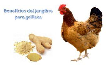 Kion para pollos