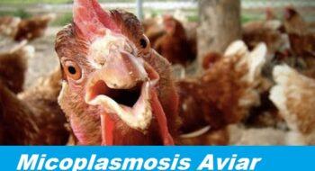 Micoplasmosis en pollos