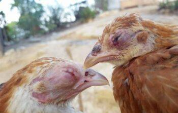 pollos con coriza infecciosa