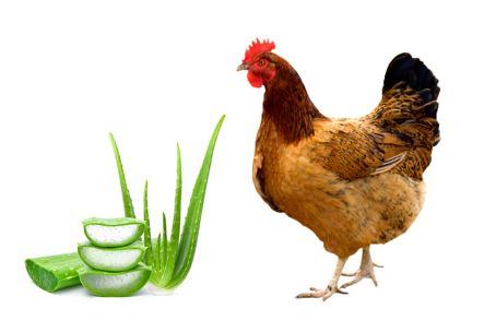 Aloe vera para aves